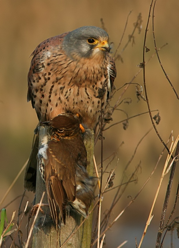 A piece of fine art art photography titled Kestrel With Prey 2 by Savatage