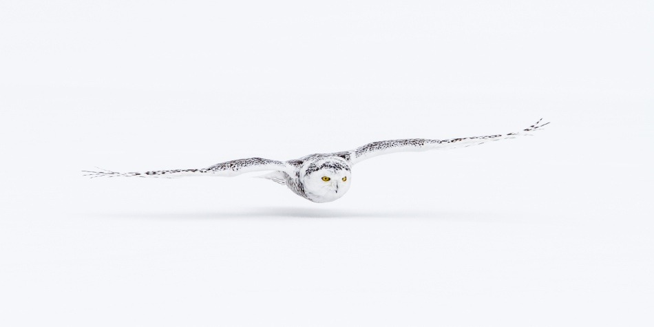 A piece of fine art art photography titled Snowy Owl by Kim Abel