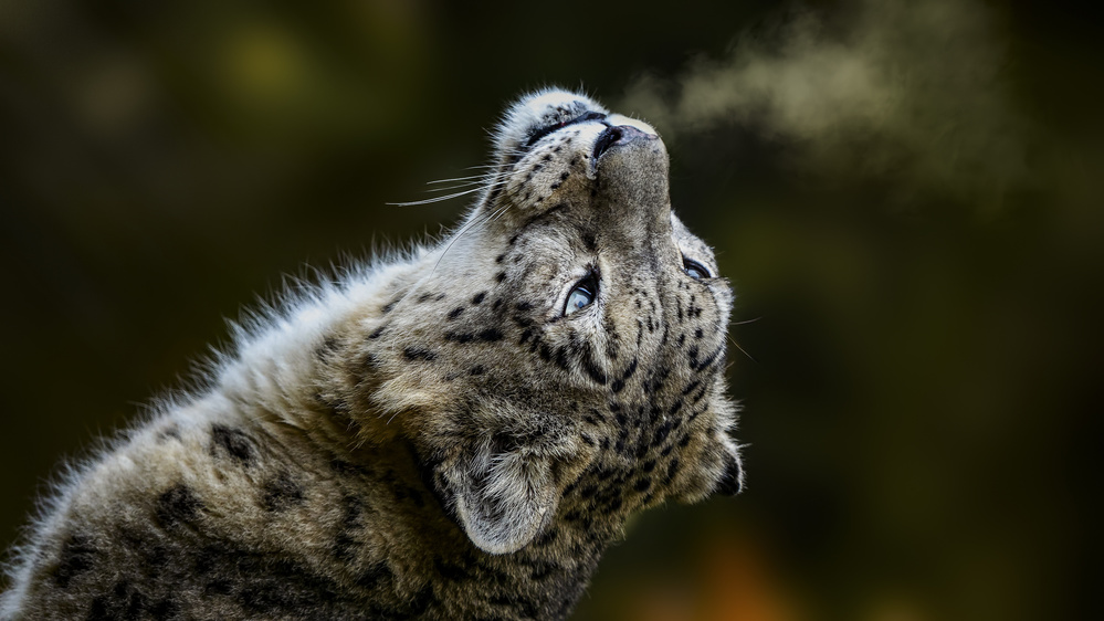 A piece of fine art art photography titled Snow Leopard by Roland Albanese