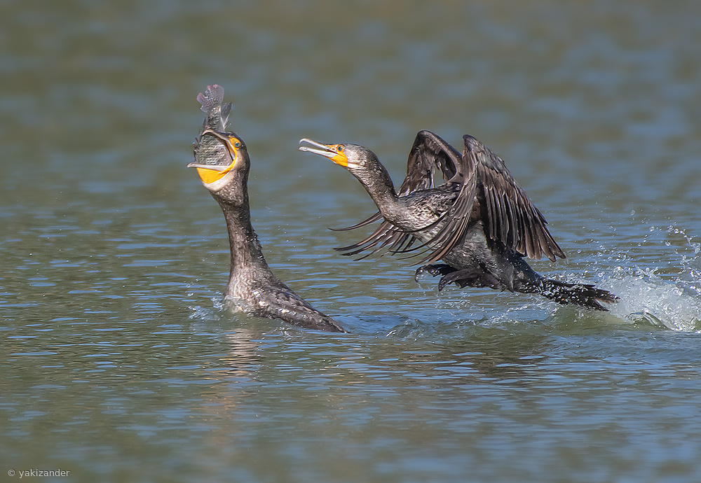 The battle for the fish ... Cormorants.  (1)