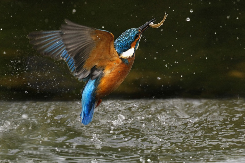 A piece of fine art art photography titled Kingfisher Erupting by Noel Marry