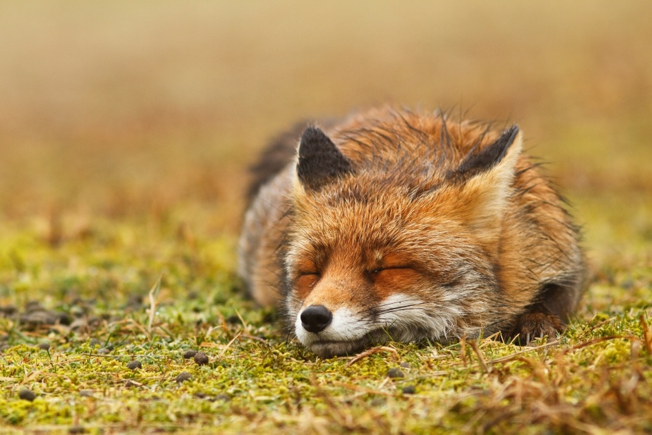 A piece of fine art art photography titled Red Fox, Probably Dreaming of Uncountable Tasty Rabbits;) by Roeselien Raimond