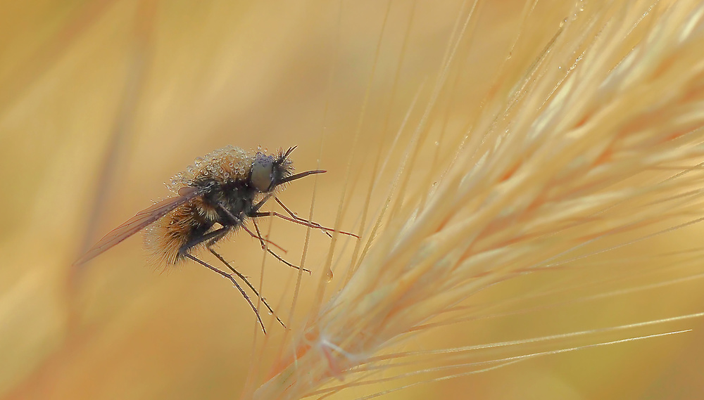 A piece of fine art art photography titled In the Ears of Wheat by Thierry Dufour