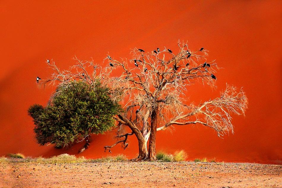 devours trees dunes  Namib