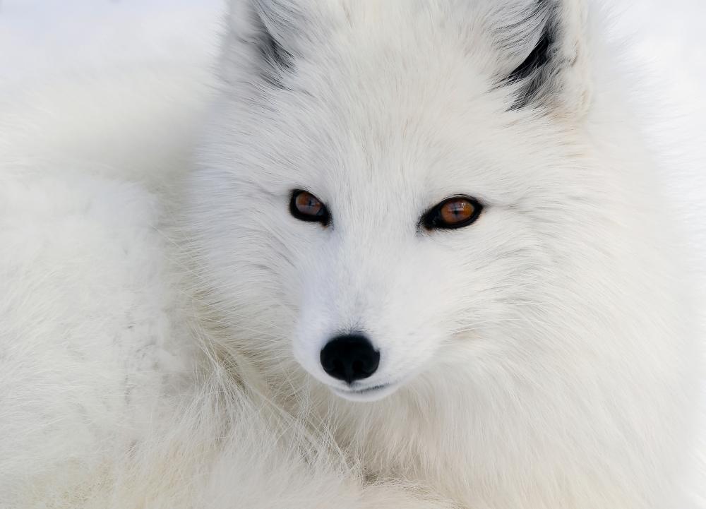 A piece of fine art art photography titled Arctic Fox by Alain Turgeon