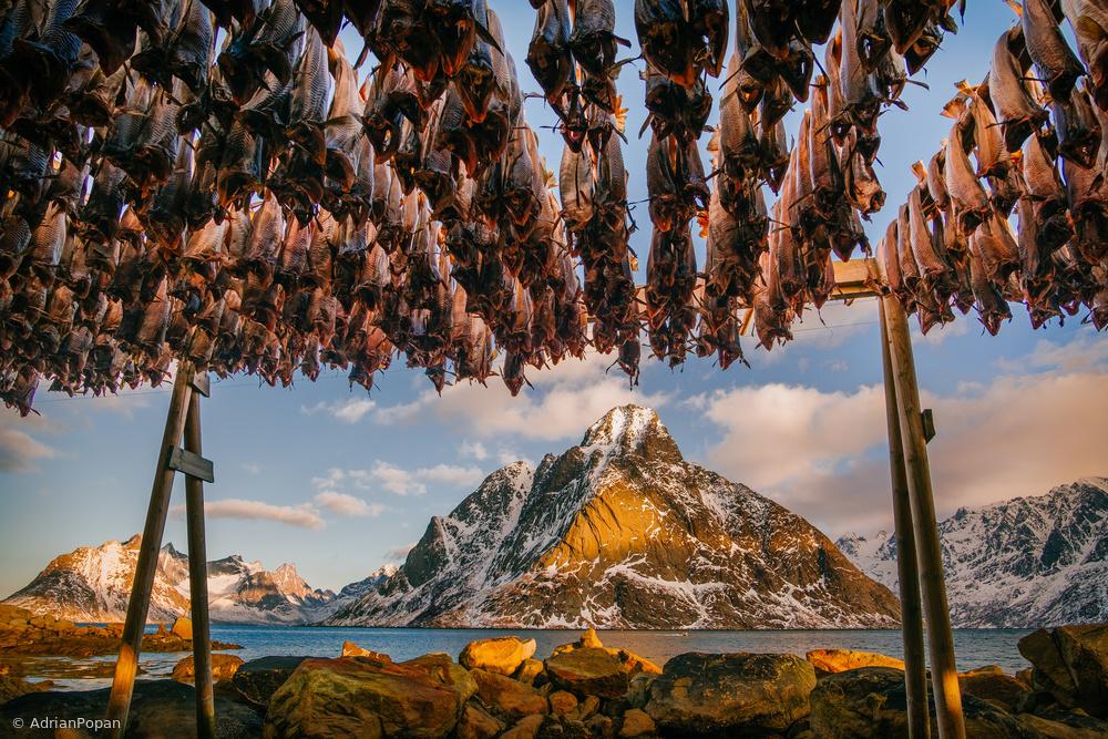 Stockfish in Lofoten