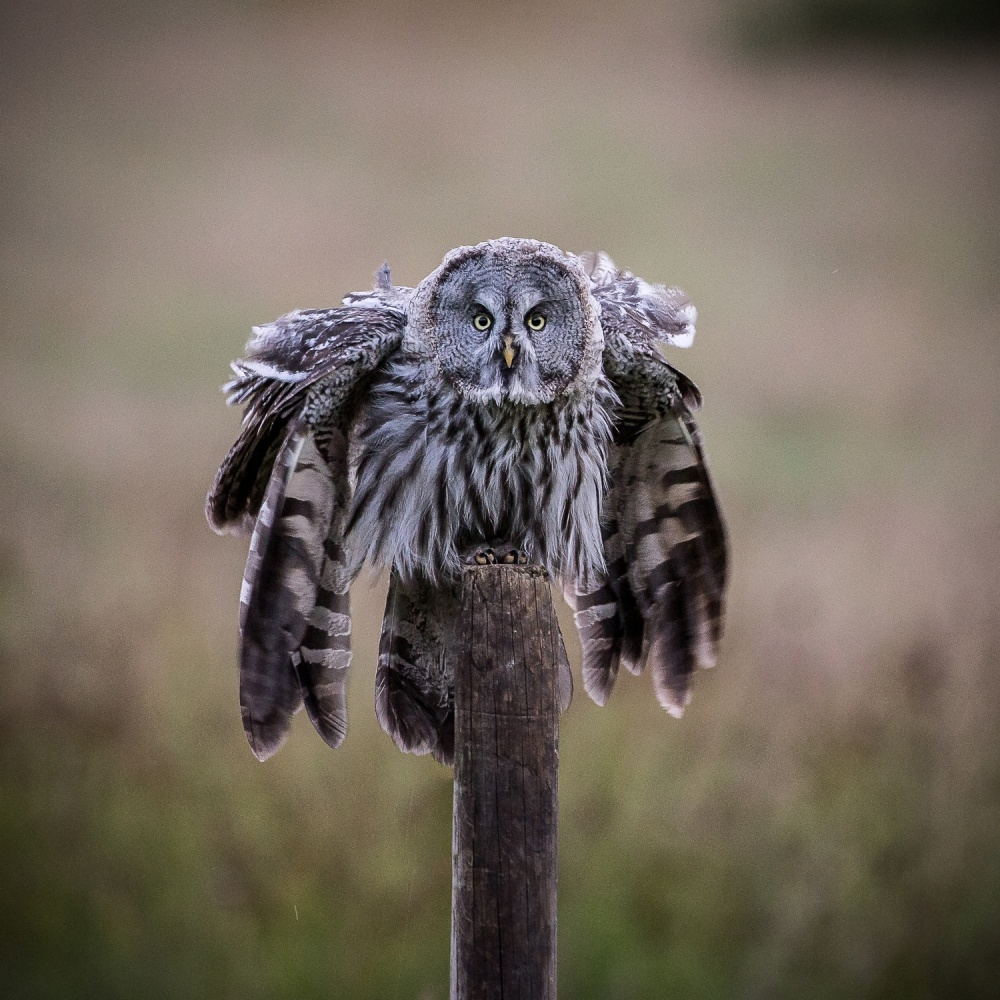 A piece of fine art art photography titled The Chief of the Great Grey's On Fence Post! by Andreas Hemb