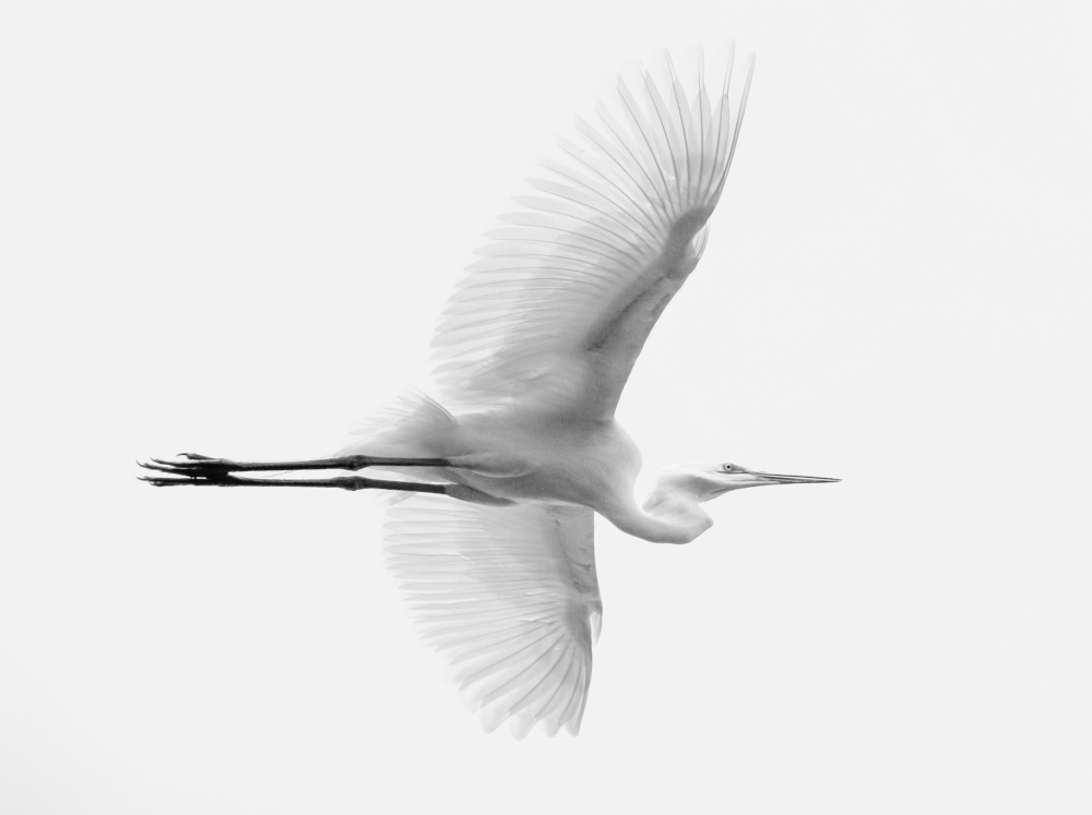A piece of fine art art photography titled Great Egret by Lachlan Kent