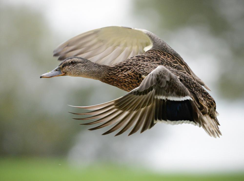 Duck in-flight