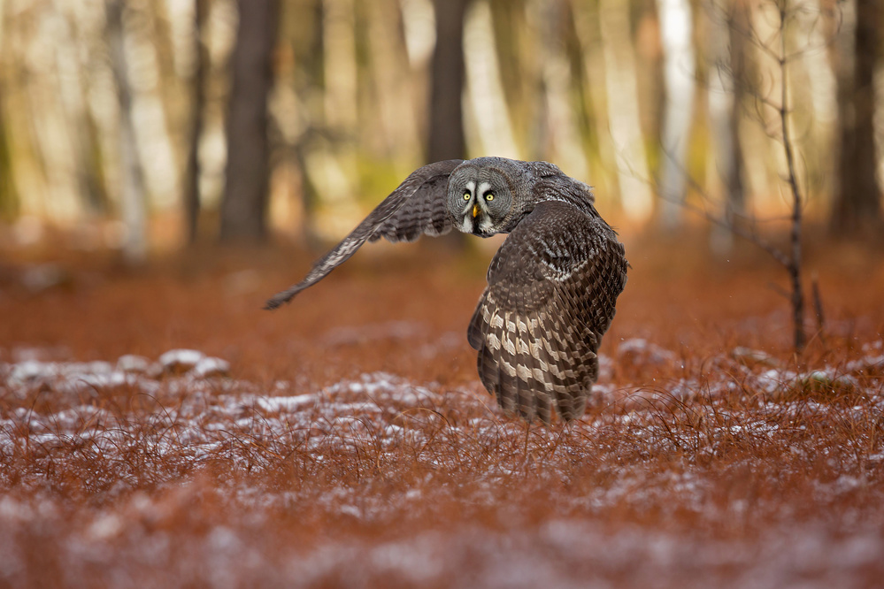 A piece of fine art art photography titled Great Grey Owl by Milan Zygmunt