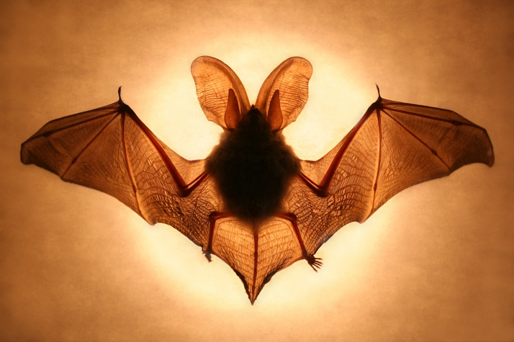 A piece of fine art art photography titled Bat by Jimmy Hoffman