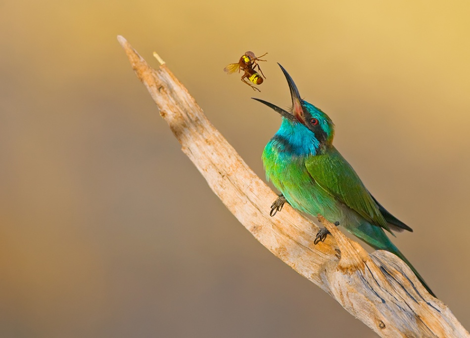 A piece of fine art art photography titled Little Green Bee-eater by yaki zander
