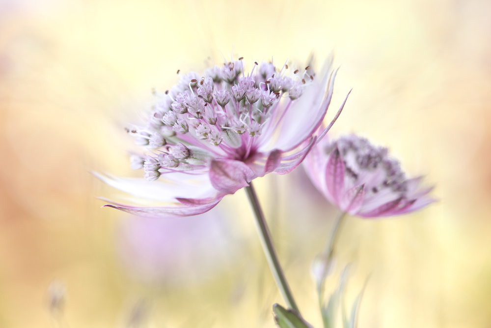 A piece of fine art art photography titled Pink Astrantia by Mandy Disher