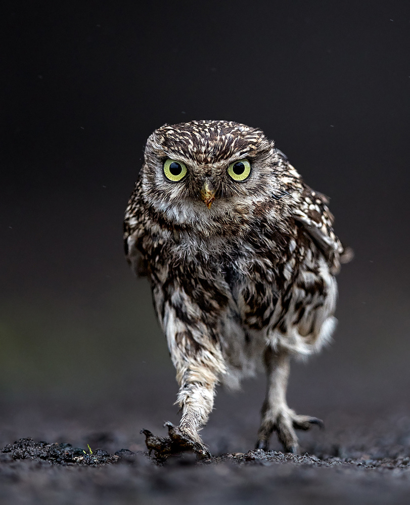 A determined Little Owl...