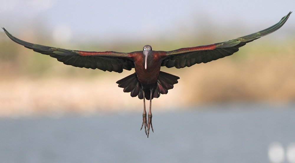 A piece of fine art art photography titled Glossy Ibis by Yuri Gomelsky