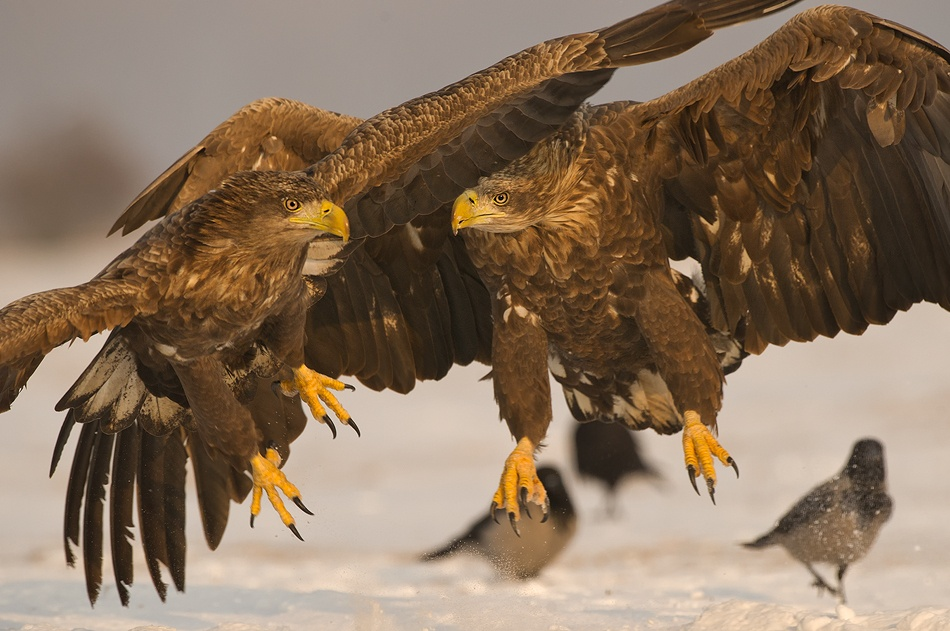 A piece of fine art art photography titled White Tailed Eagle by Amir Ayalon
