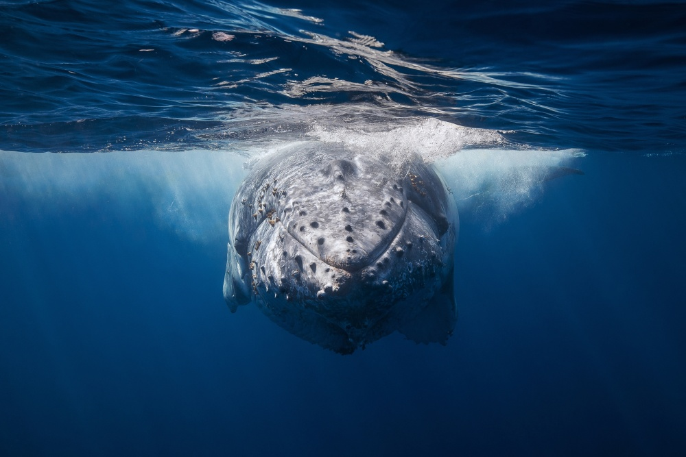 A piece of fine art art photography titled Face to Face With Humpback Whale by Barathieu Gabriel
