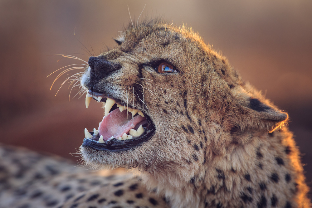 A piece of fine art art photography titled Lady Cheetah by Andreas Hemb