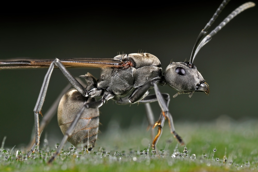 A piece of fine art art photography titled Winged-Carpenter Ant by Donald Jusa
