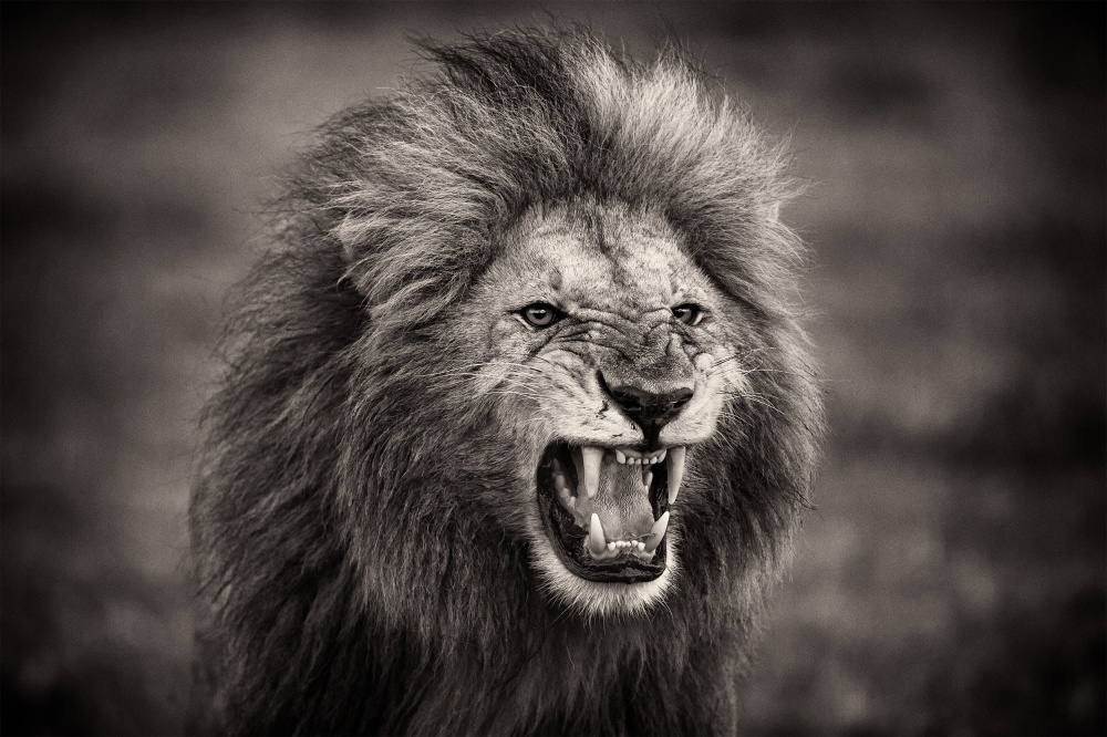 A piece of fine art art photography titled Snarling King by Alison Buttigieg