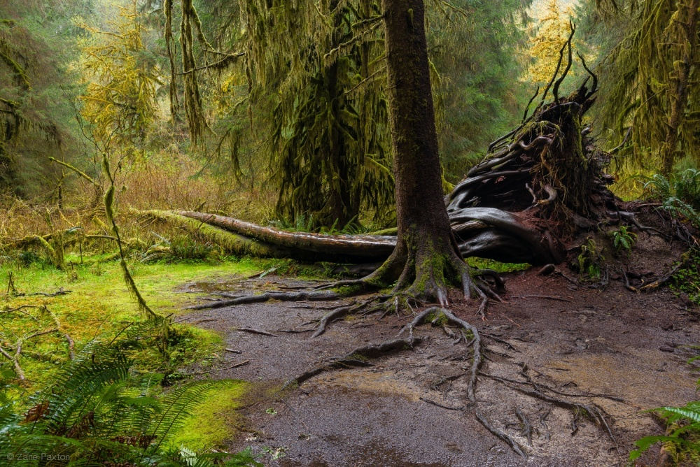 Hoh Rainforest in the Olympic National Park, Washington