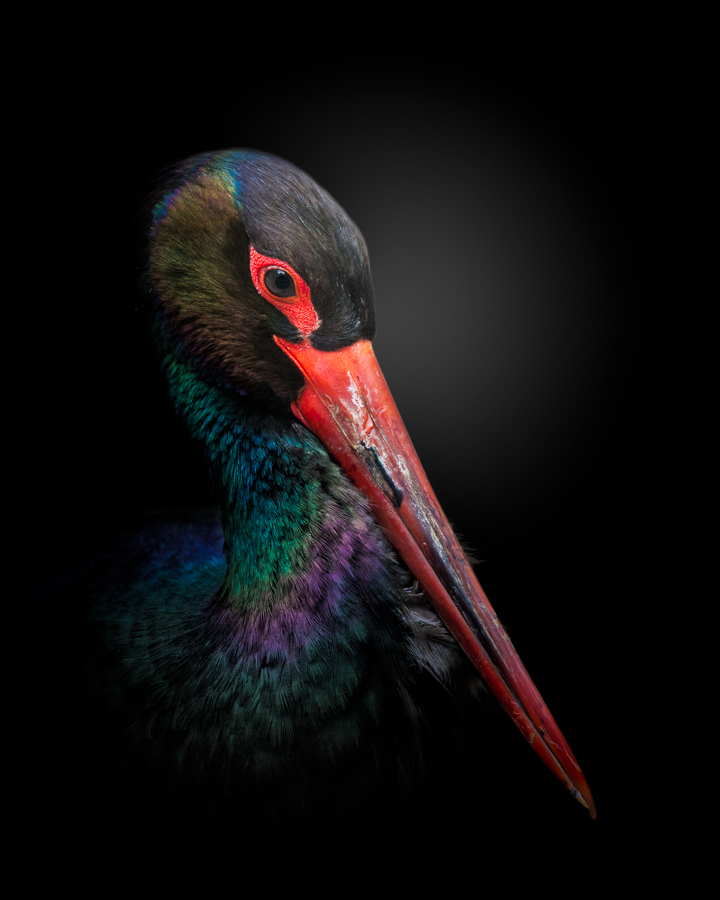 A piece of fine art art photography titled The Black Stork by fegari