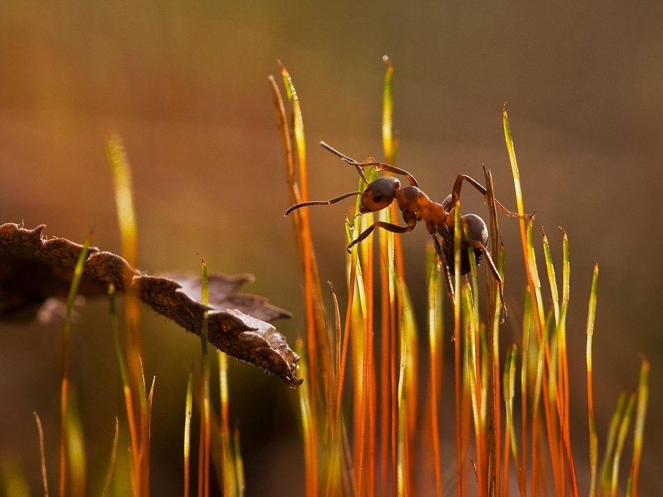 A piece of fine art art photography titled Red Ant by Siv Wester