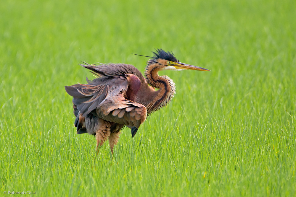 Electric red Heron in ricefield