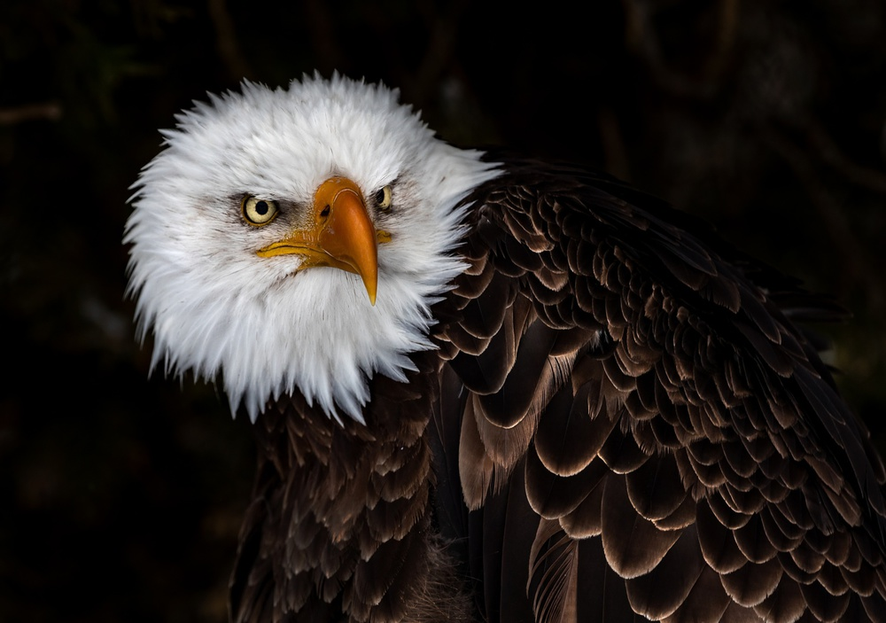 A piece of fine art art photography titled Bald Eagle by wei he