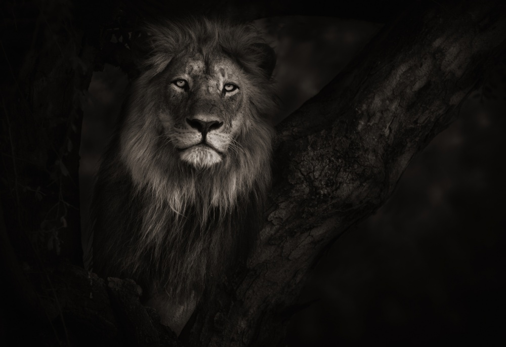A piece of fine art art photography titled Botswana Lion In Tree by Keith Andrews