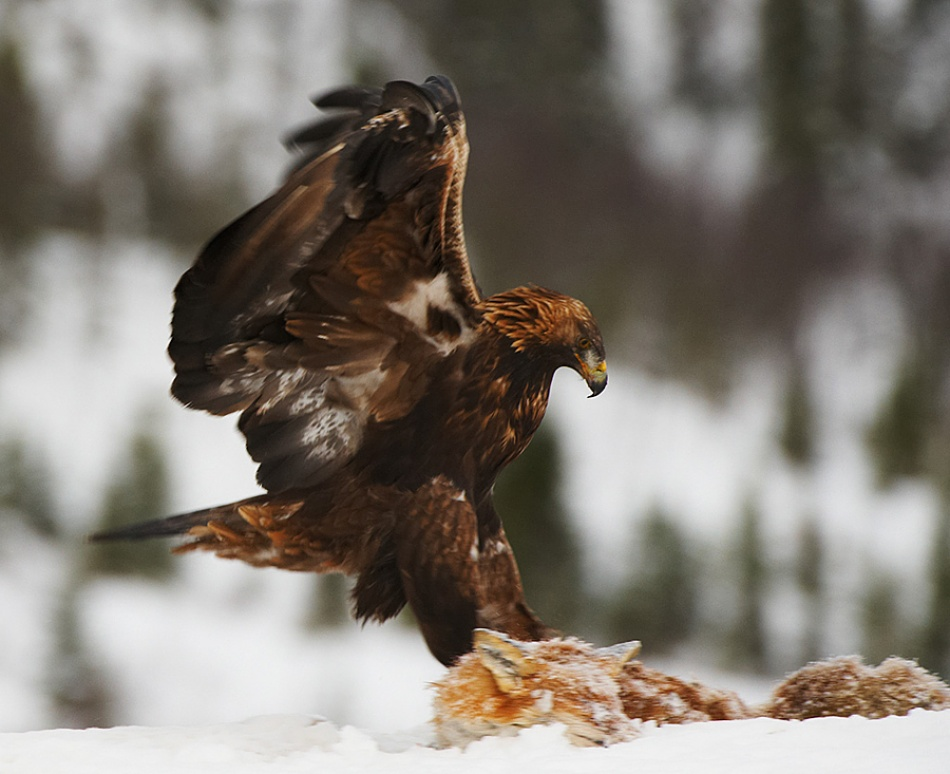 A piece of fine art art photography titled King Eagle Taking Fox by Tommy Solberg