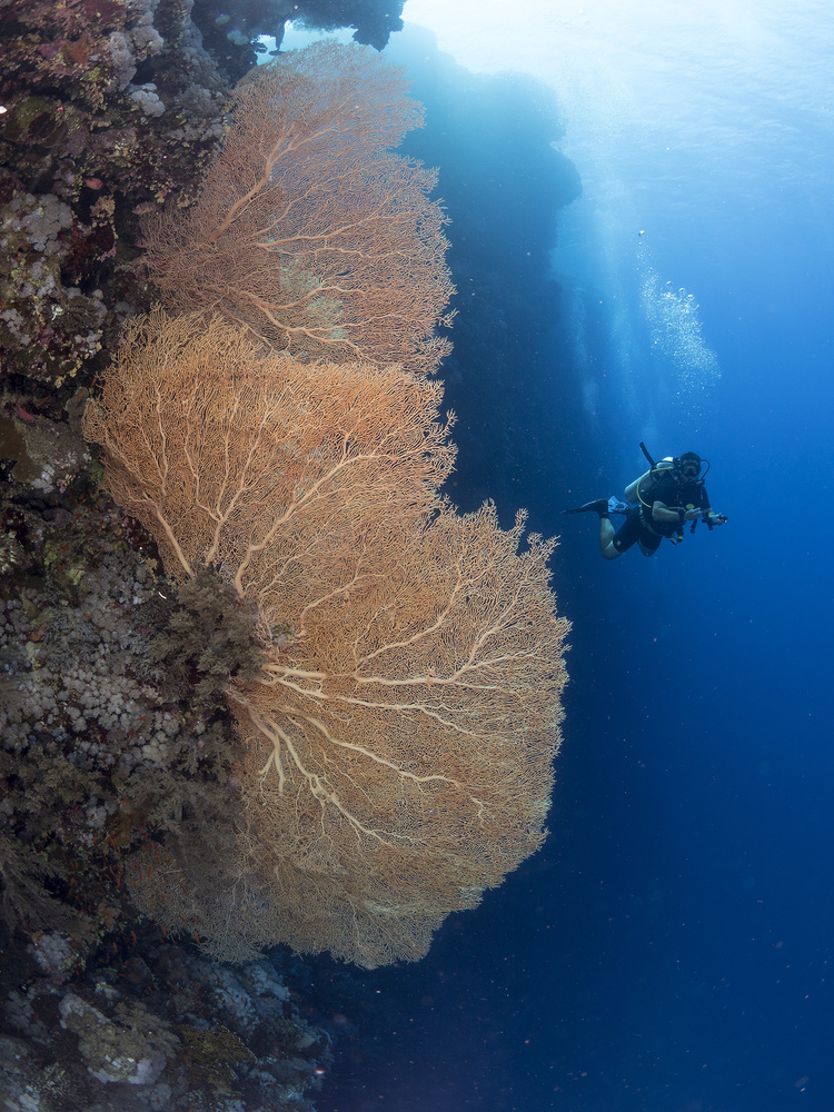 A piece of fine art art photography titled Gorgonian Coral and a Diver by Ilan Ben Tov