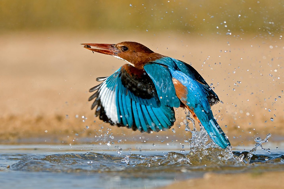 White throated Kingfisher in action