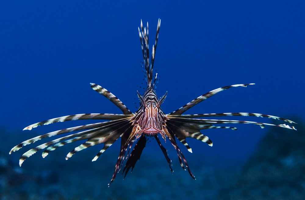 A piece of fine art art photography titled Lionfish by Anna Shvab