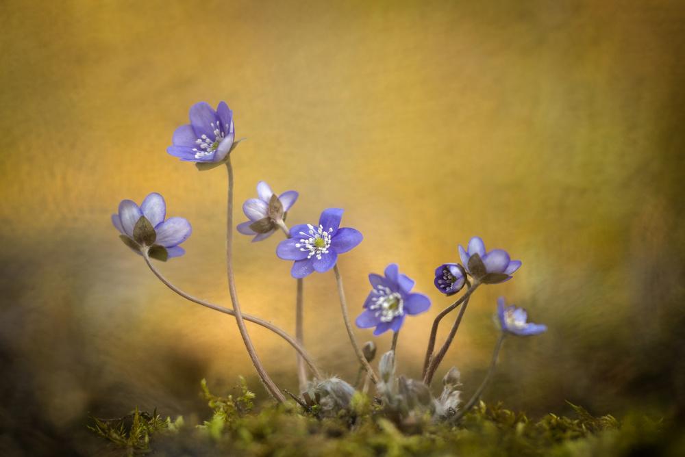 Hepatica nobilis flower