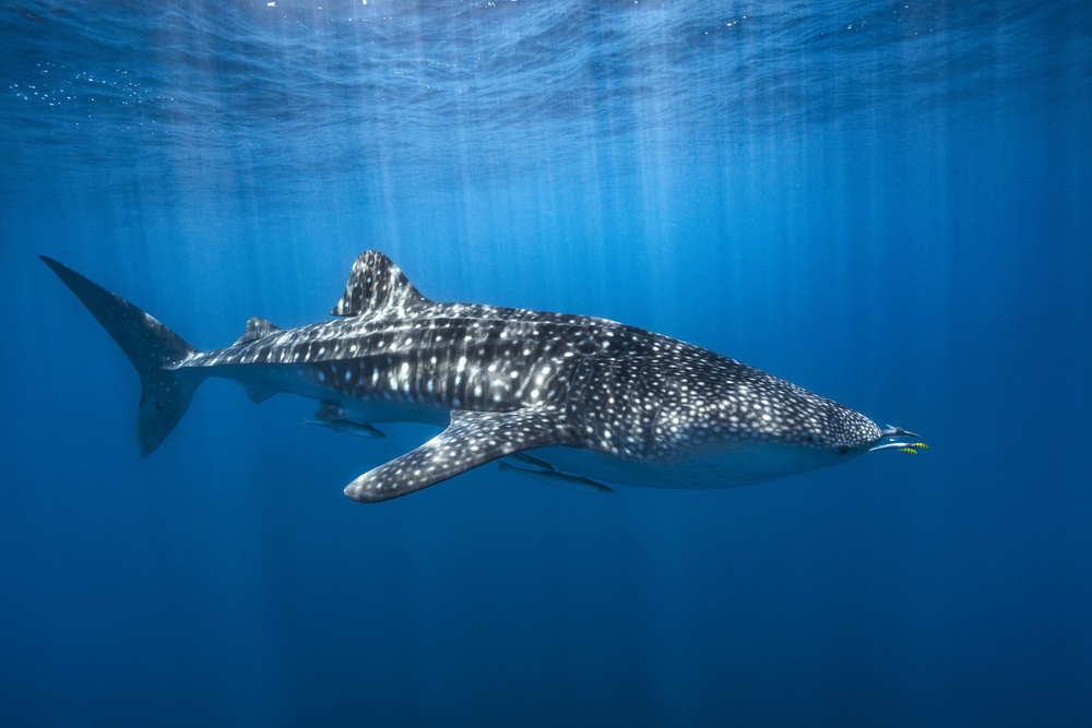 Whale shark in the blue