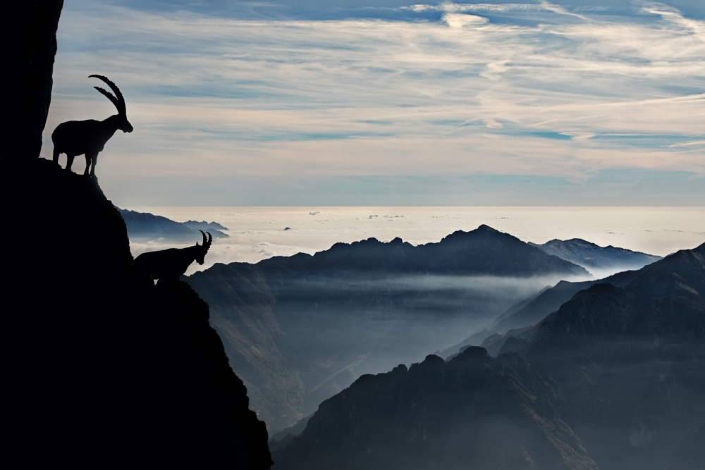 A piece of fine art art photography titled Alpine Ibex by Francesco Vaninetti