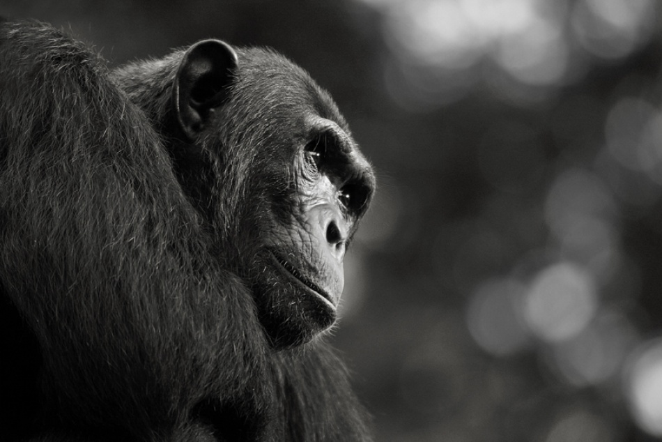 A piece of fine art art photography titled Chimpanzee, Chambura Gorge, Uganda by simondeg