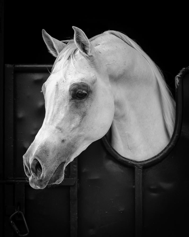 A piece of fine art art photography titled Arabian Horse by WASEEM AL-HAMMAD