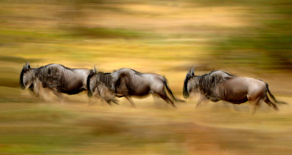 A piece of fine art art photography titled Wildebeest Running by Xavier Ortega