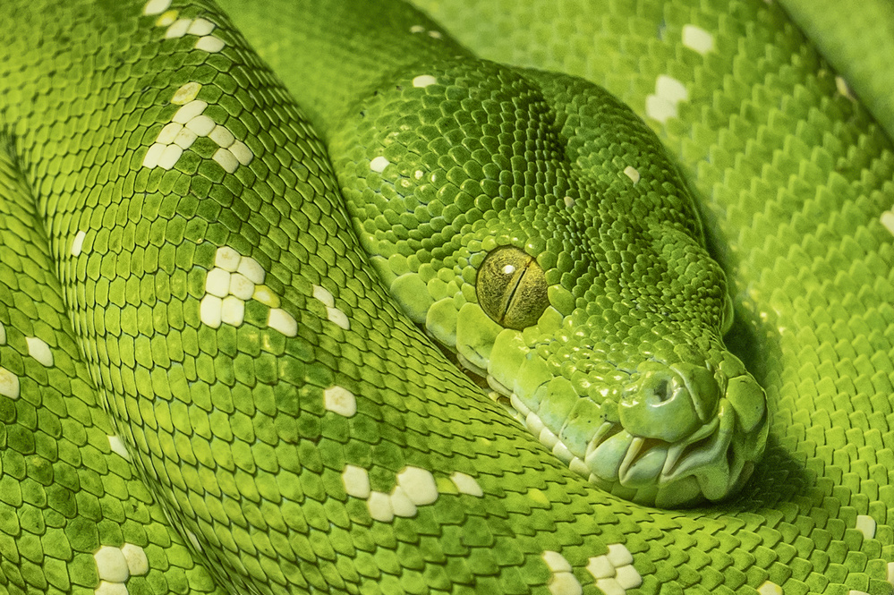 A piece of fine art art photography titled Tree Python by Rainer Mueller
