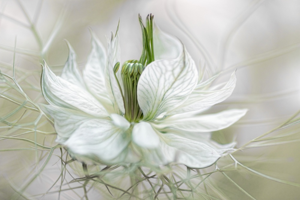 A piece of fine art art photography titled Nigella by Mandy Disher
