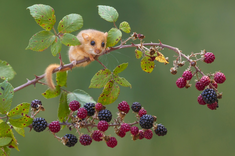 A piece of fine art art photography titled Hazel Dormouse by tiziano cei