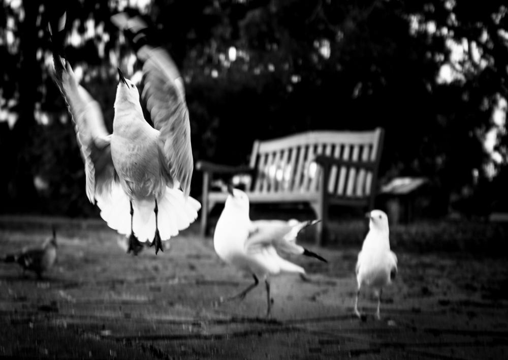 Seagull Ballet