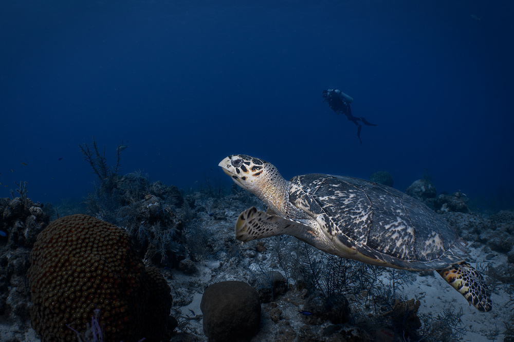 View this piece of fine art photography titled A blue turtle day by Jennifer Lu