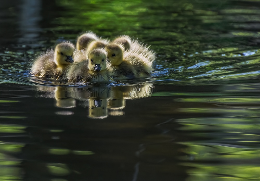 A piece of fine art art photography titled Cute Baby Canada Geese by YC Tian