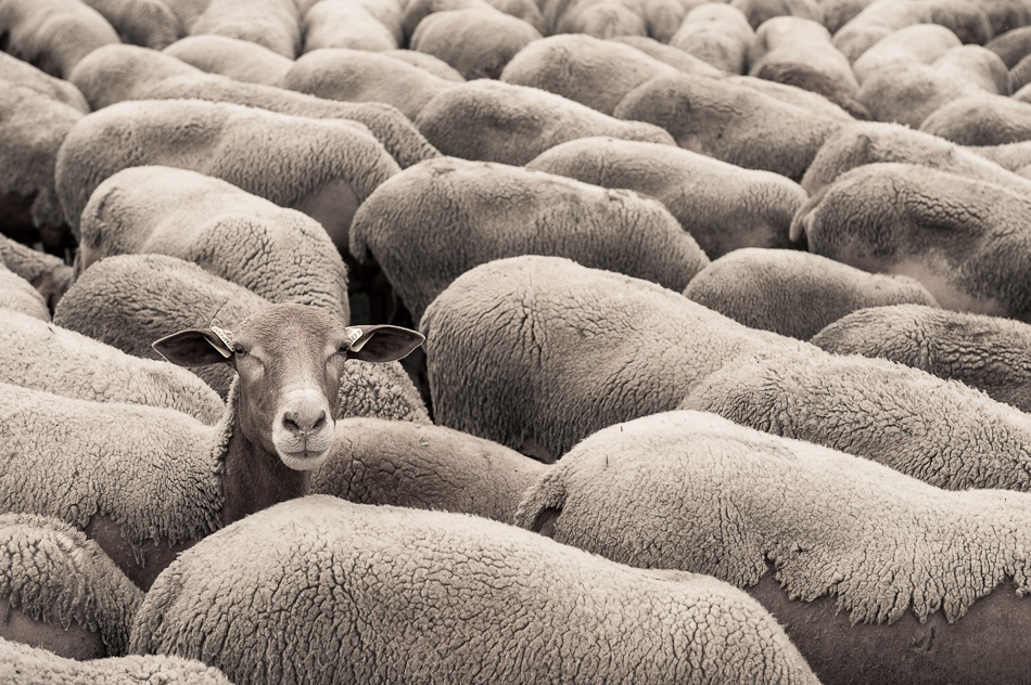 A piece of fine art art photography titled Don\'t Be a Sheep! by Sverre Hjørnevik