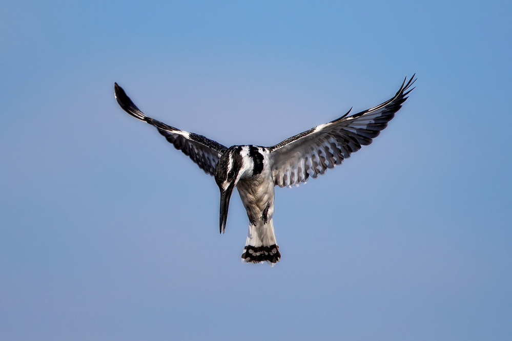 A piece of fine art art photography titled Pied Kingfisher by Alessandro Catta