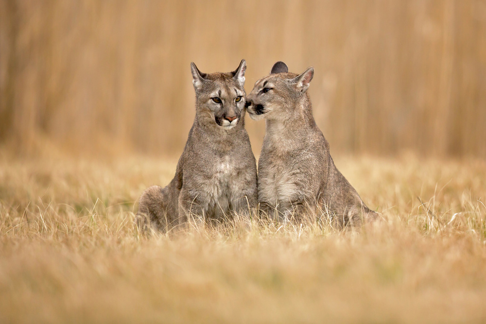 A piece of fine art art photography titled Cougars by Milan Zygmunt