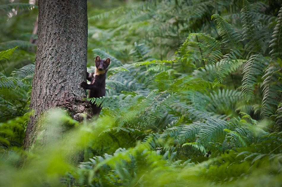 A piece of fine art art photography titled Stone Marten On the Lookout by Johan Nieuwerth